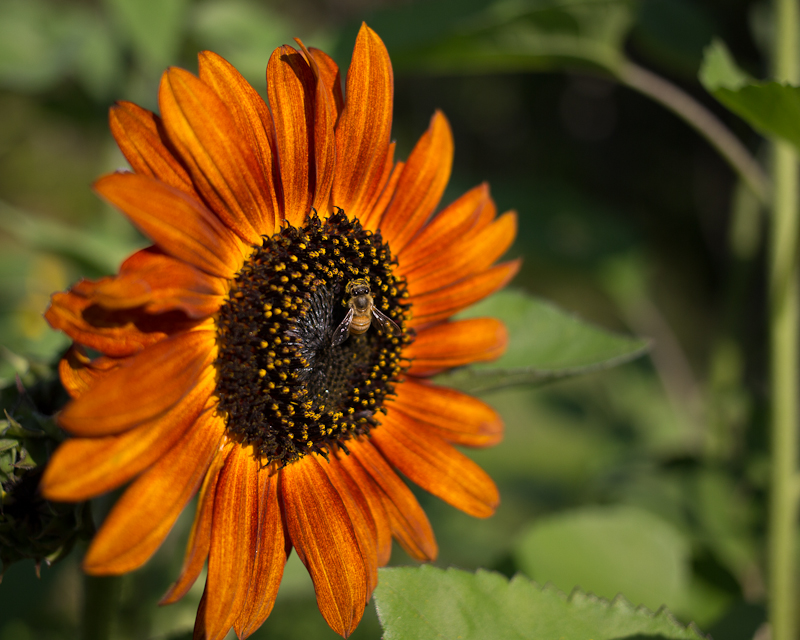 Orange Sunflower with Visitor