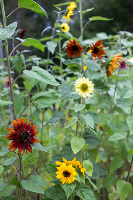 Sunflower Variety #1