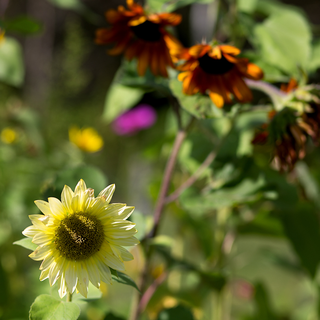 Pale Yellow Sunflower by Orange Trio