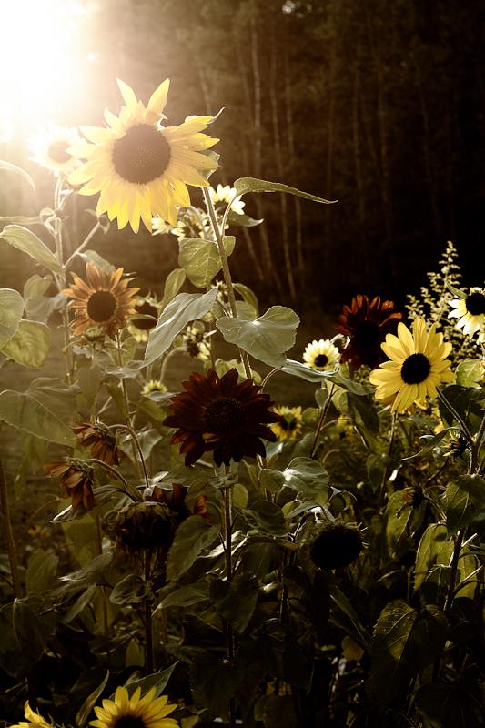 Stylized Sunflowers #1