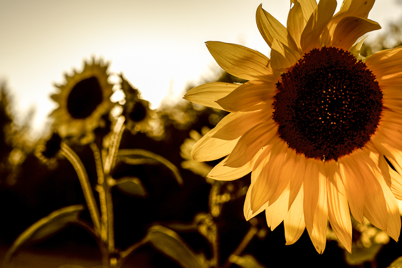 Stylized Sunflowers #2