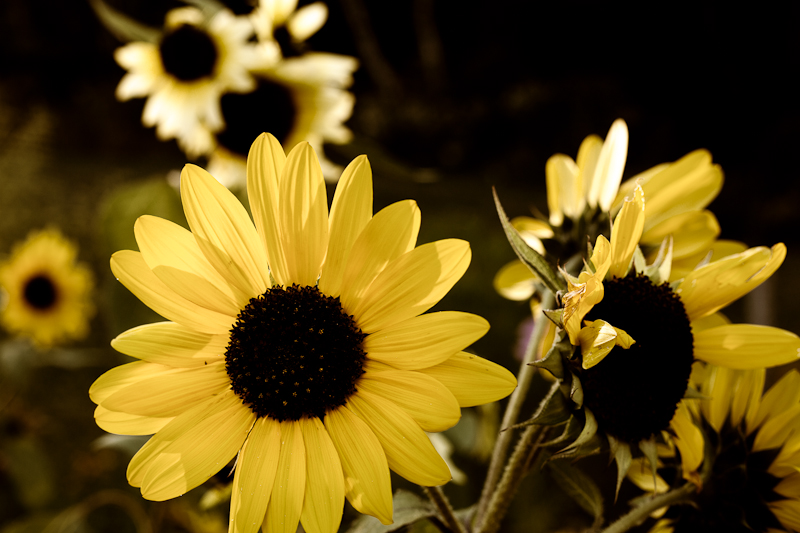 Stylized Sunflowers #4