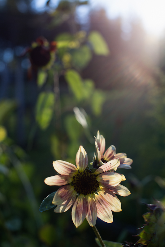 Backlit Pink and White Sunflower at Sunset