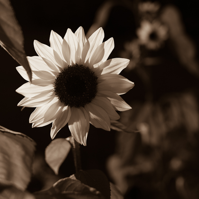 Backlit Sepia Sunflower
