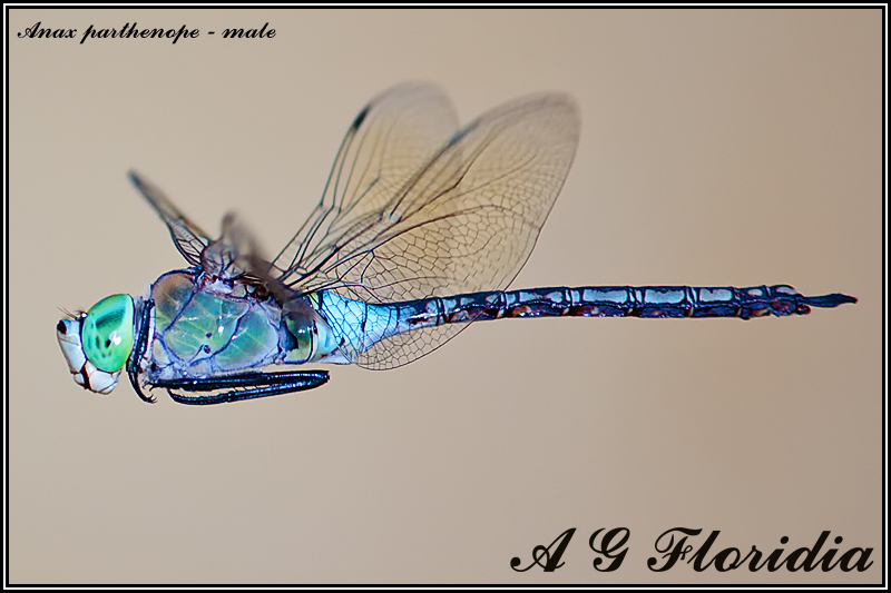Anax parthenope - male