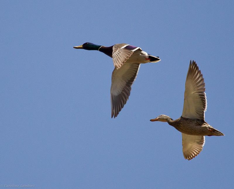 Flying Mallard pair