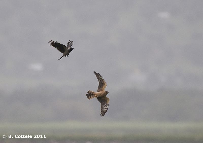 Grauwe Kiekendief - Montagus Harrier - Circus pygargus