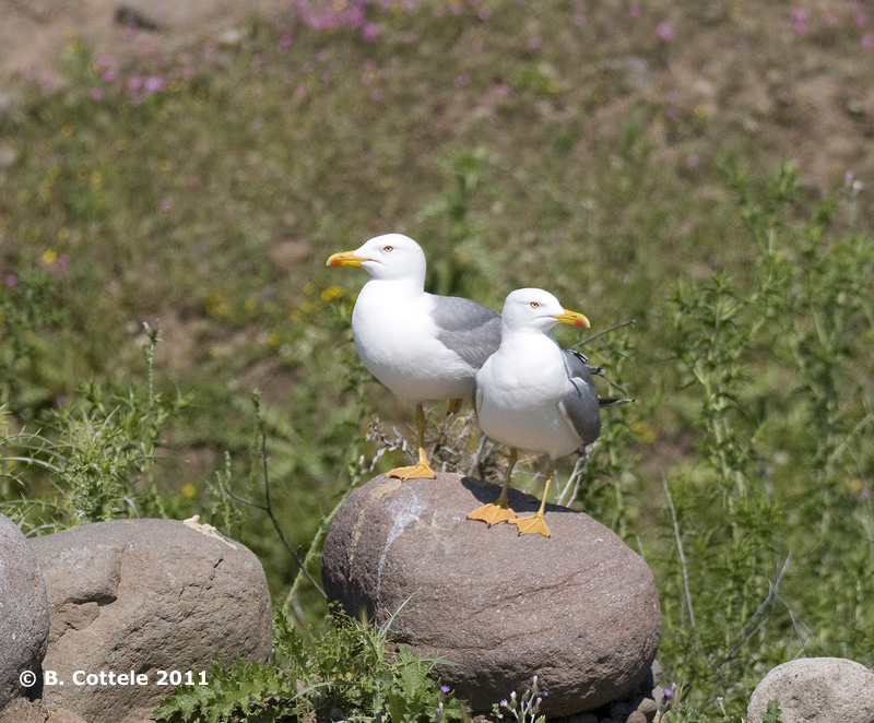 Geelpootmeeuw - Yellow-legged Gull - Larus michahellis