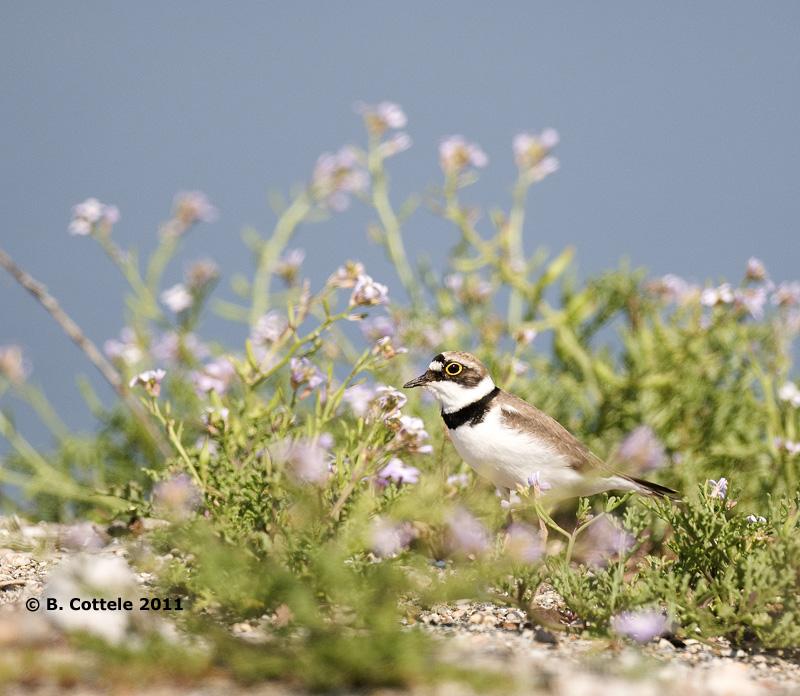 Kleine Plevier - Little Ringed Plover - Charadrius dubius