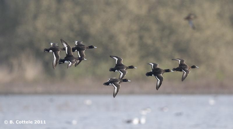 Kuifeend - Tufted Duck - Aythya fuligula