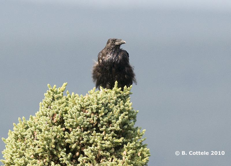 Raaf - Common Raven - Corvus corax