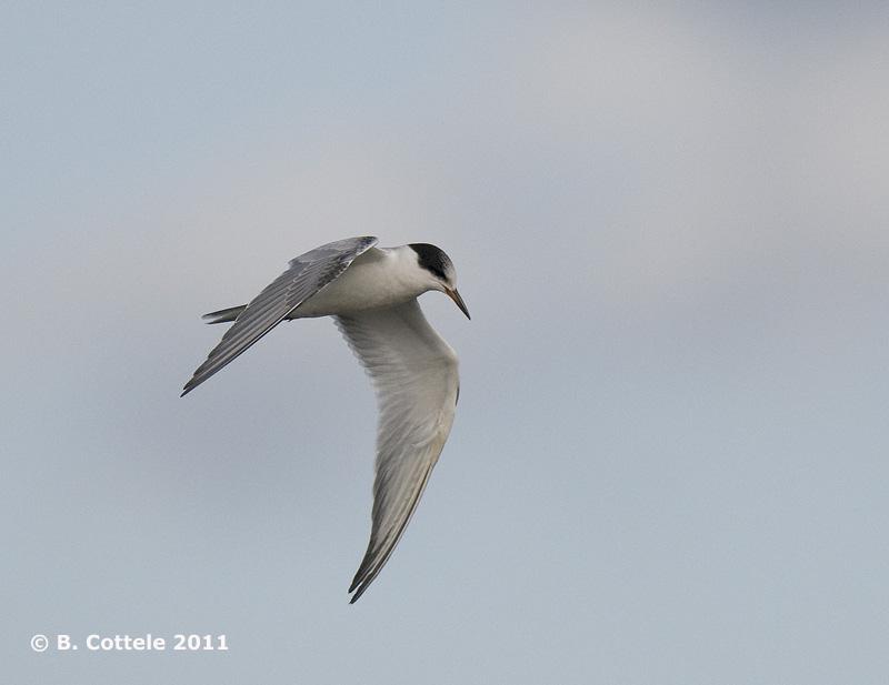 Visdief - Common Tern - Sterna hirundo