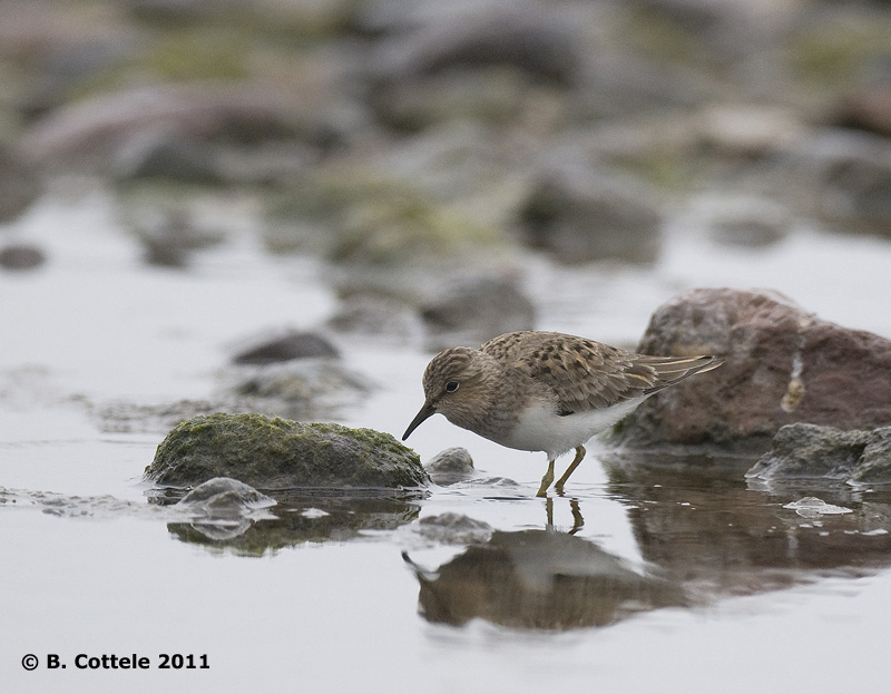 Temmincks Strandloper - Temmincks Stint - Calidris temminckii