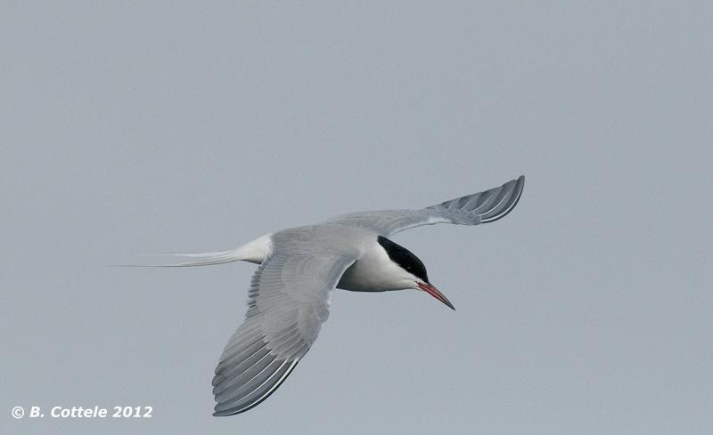 Noordse Stern - Arctic Tern - Sterna paradisaea