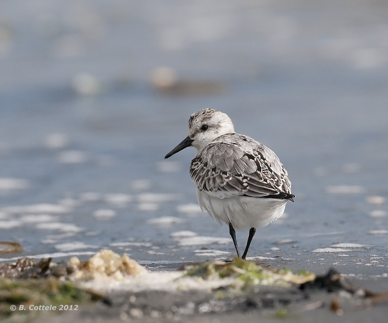 Drieteenstrandloper - Sanderling - Calidris alba
