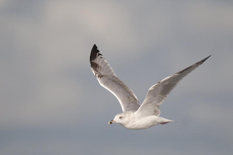 Zilvermeeuw - European Herring Gull - Larus argentatus