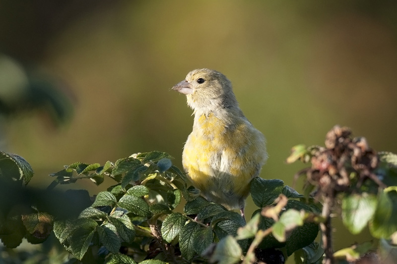 Groenling - European Greenfinch - Chloris chloris