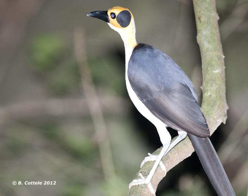 Witnekkraai - Yellow-headed Picathartes - Picathartes gymnocephalus