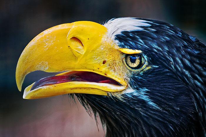 <br>2nd Place<br> Eagle by kyagudin