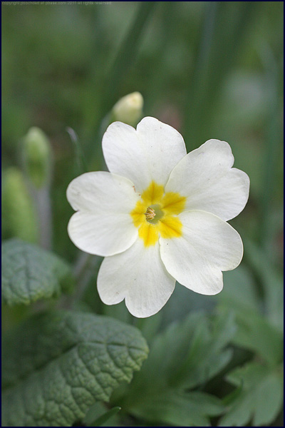 Common primrose - Primula vulgaris