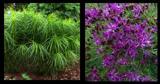 Vernonia lettermanii Iron Butterfly