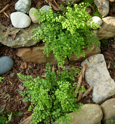 Himalayan Maidenhair Fern
