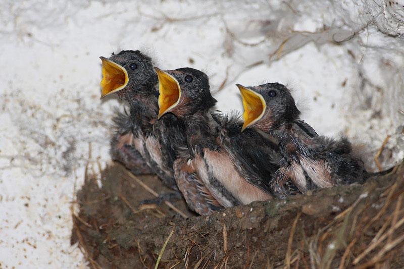 Barn swallow Hirundo rustica kmeèka lastovka_MG_5150-11.jpg