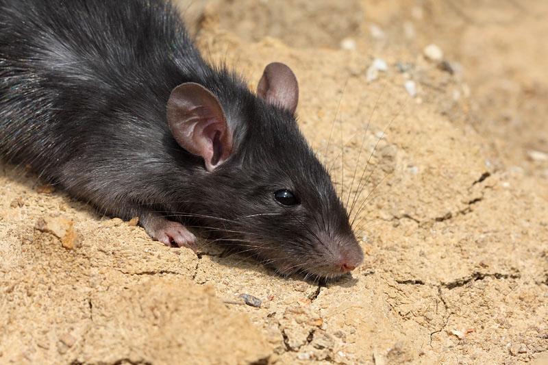 Black rat Rattus rattus èrna podgana_MG_4914-11.jpg