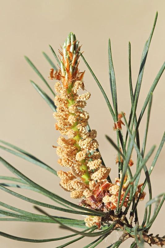 Scots pine Pinus sylvestris rdeči bor_MG_9783-11.jpg