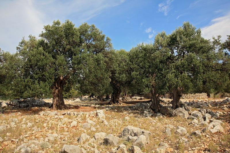 Olive trees oljke_MG_5714-11.jpg