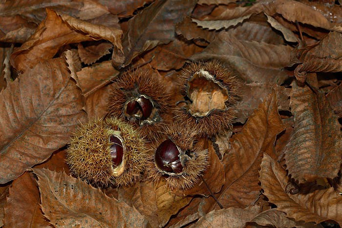 Sweet chestnut Castanea sativa pravi kostanj_MG_7148-1.jpg
