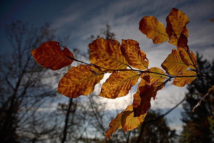 Autumn beech Fagus sylvatica bukev_MG_7983-1.jpg