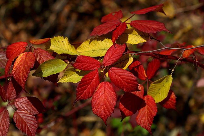 Autumn bramble jesenska robida_MG_7990-1.jpg