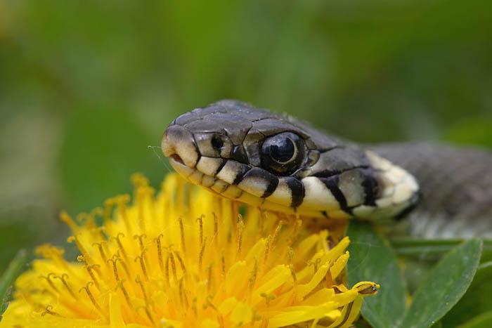 Grass snake Natrix natrix belou¹ka_MG_7729-1.jpg