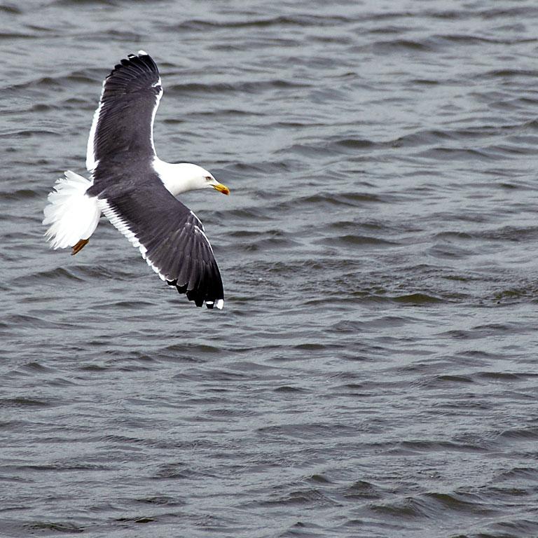 Black-backed gull (3604)