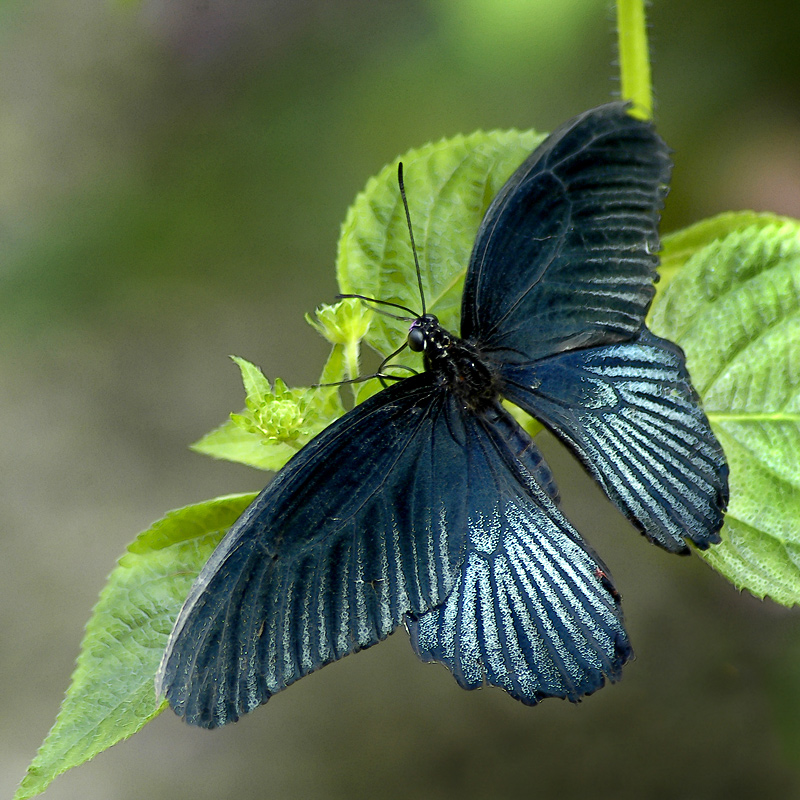 Buckfast ~ blue butterfly (3324)