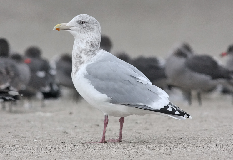 presumed Glaucous-winged x Herring Gull hybrid, basic adult