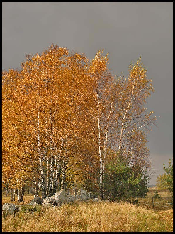 Autumn Birch .jpg