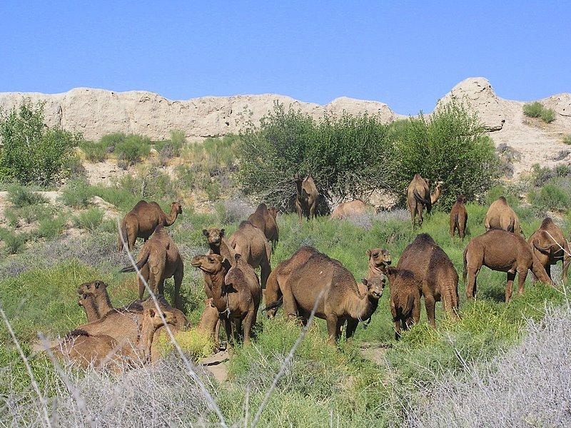 Mary, Turkmenistan - ruins of Merv - Dromedary camels grazing