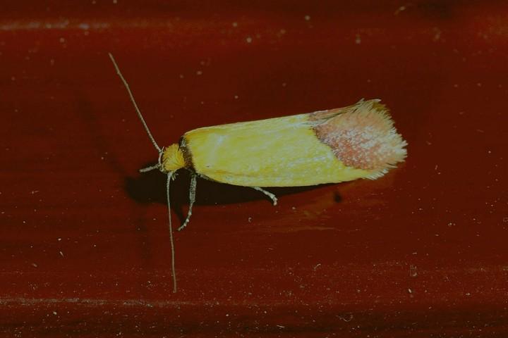 Tachystola stenoptera
