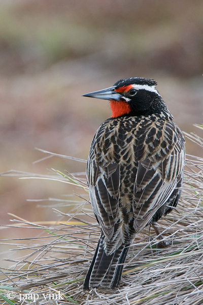 Long-tailed Meadowlark- Grote Weidespreeuw - Sturnella loyca