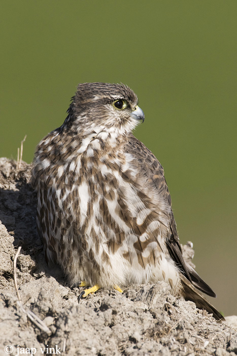 Merlin - Smelleken - Falco columbarius