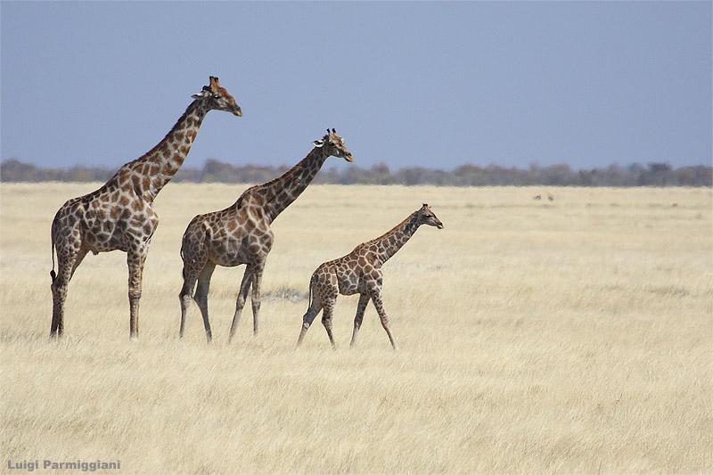 Giraffa camelopardalis (giraffe - giraffa)