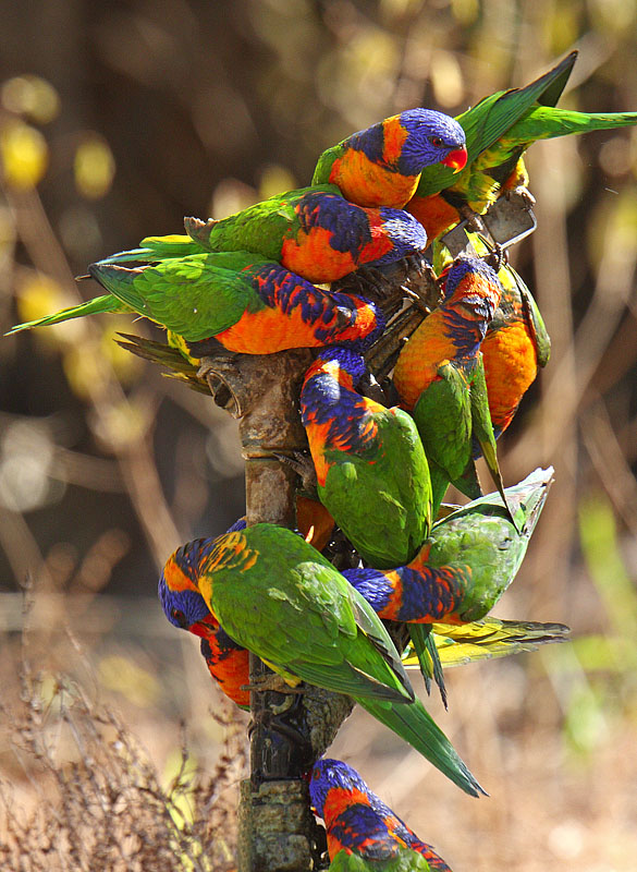 Red-collared Lorikeets drinking from a tap