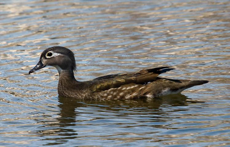 Canard Branchu Femelle - Female Wood Duck