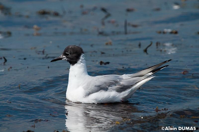 Mouette de Bonaparte mâle -  Male Bonapartes Gull