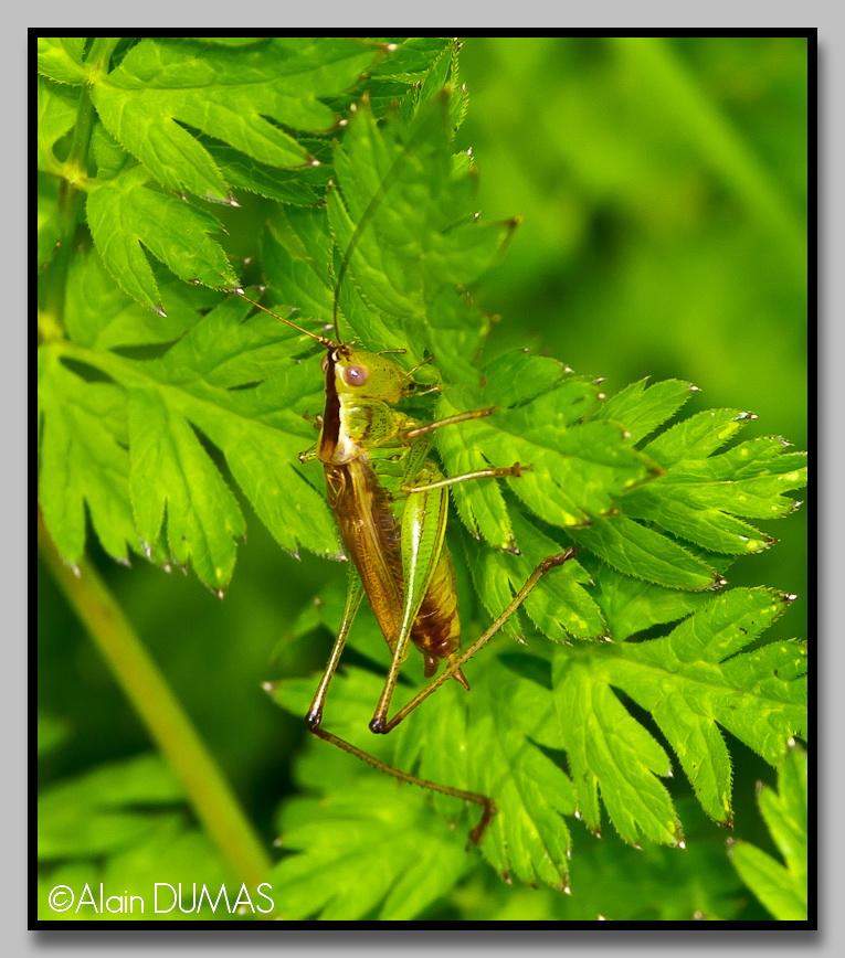 Conocéphale à ailes courtes - Short-winged meadow katadid