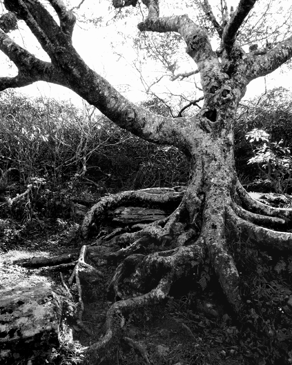 A SPOOKY TREE ON MOUNT MITCHELL