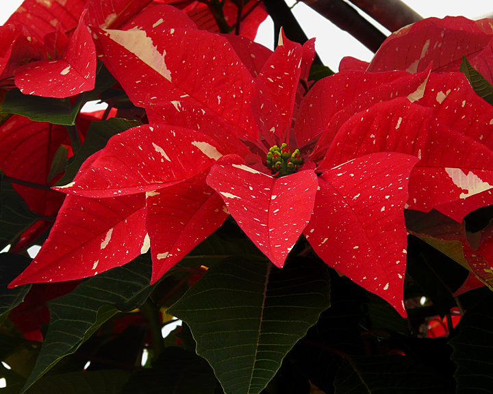 POINSETTIAS AT THE VAN WINGERDEN OPEN HOUSE (21)