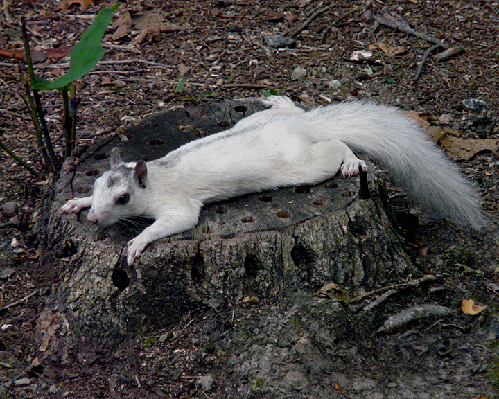 WHITE SQUIRREL - AFTER A PARTY?
